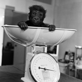 Baby Gorilla  Tips the Scales at 8Lbs 12Ozs 1976