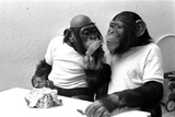 Two Chimpanzees celebrating Easter