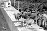 Desert Fox 1972
