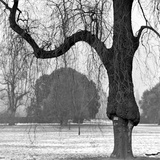 A Mature Weeping Tree in Winter in Kew Gardens with Other Trees Behind  Greater London