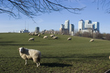 Flock of Sheep at Mudchute Park and Farm  in Front of Canary Wharf  Docklands  Isle of Dogs  London