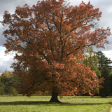 Beech Tree in Autumn Colours in Schoch Garden  Worlitz Landscape Park  Worlitz  Germany