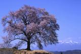 Wanizuka Cherry  Yamanashi Prefecture  Japan Japan Alps