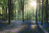 Sunlight Through Trees in Bluebell Woods  Micheldever  Hampshire  England