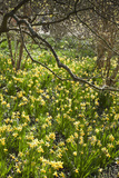 Narcissus 'Jumblie' Along One of the Wooded Walks at Rhs Wisley in March