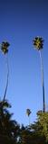 Palm Trees  Sinaloa  Baja California