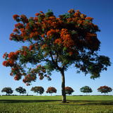 The Flame Tree  or Royal Poiniana Is a Tropical Flowering Plant  Dubai