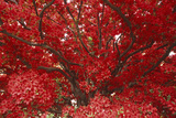 Bright Red Leaves on Tree