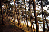 Sunlight on Pine Trees at Bornholm  Cliffs - Denmark