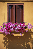 Window with Brown Shutters  Pink Flowers and Yellow Wall - Burano  Venice