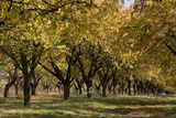 Old Cherry Plantation in Autumn  Eckartsberga  Saxony-Anhalt  Germany