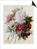 Bouquet of Red  Purple and White Peonies