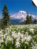 USA  Washington  Mount Rainier NP Avalanche Lilies and Mount Rainier