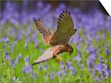 Kestrel Male Hunting in Bluebells
