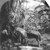 Harvesting Bananas  Costa Rica  1909