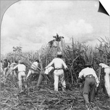 Harvesting Sugar Cane  Rio Pedro  Porto Rico  1900