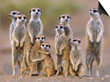 Meerkat Family with Young on the Lookout