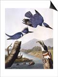 Belted Kingfishe