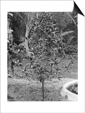 Coffee Tree  Jamaica  C1905