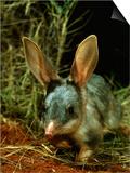 Bilby  Rabbit-Eared Bandicoot Central Australian Desert