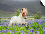 Icelandic Horse Running in Lupine Fields  Iceland