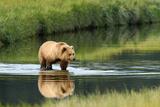 Brown Bear in lake in Alaska