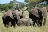 Elephant family in Zimbabwe