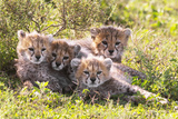 Wild cats Cheetah cubs in Tanzania