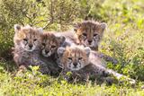 Wild cats Cheetah cubs in Tanzania