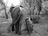 Elephant calf and mother in South Africa