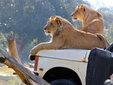 Wild cats lioness and lion in safari park in California