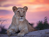 Wild cat lionessa at sunset in South Africa