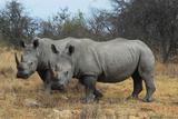 Rhinoceros pair in South Africa