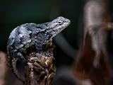 Reptile Lizard in North Carolina