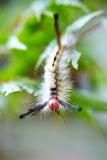 White caterpillar in Ohio