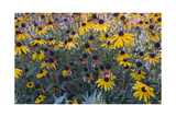 Garden Botanical BlackEyed Susan Flowers