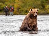 Brown Bear in river in Alaska