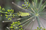 Green caterpillar in Ohio