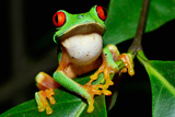 Amphibians Tree Frog in Honduras