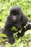 Primate baby Gorilla in Rwanada