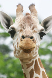 Giraffe close up in Alabama Zoo