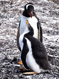 Gentoo Penguin pair in Falkland Islands