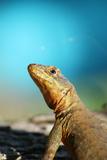 Reptile Lizard in Argentina