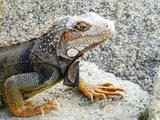 Reptile Iguana in Aruba