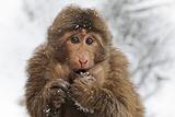 Primate monkey in winter in China