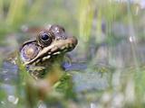 Amphibian Frog in water in Alabama