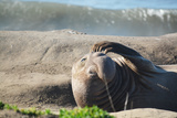 Elephant Seal in California