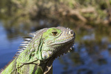 Reptile Iguana in Florida