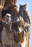 Great Horned Owl nestling in Colorado