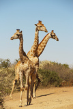 Giraffe group in South Africa